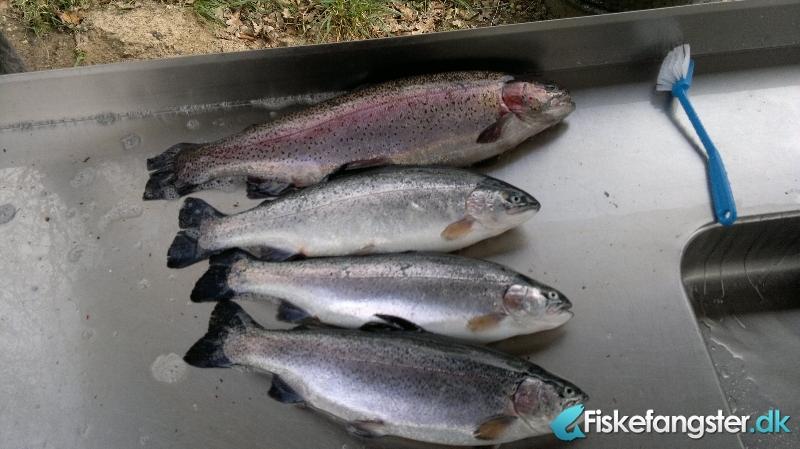 Regnbueørred på 61 cm og 2.80 kg fra Medestedet, Nordjylland -  fanget på Powerbait # 678