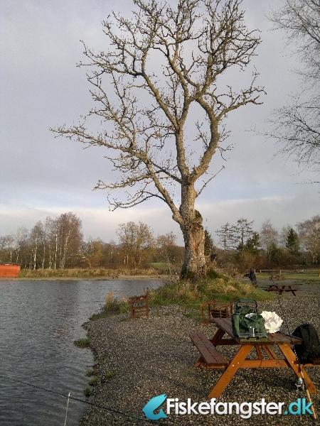 Regnbueørred på 52 cm og 2.30 kg fra Medestedet, Nordjylland -  fanget på Andet # 373