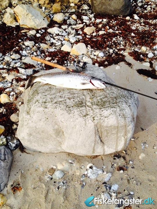 Havørred på 61 cm og 3.00 kg fra Stevns, Sjælland -  fanget på Bombarda # 2631