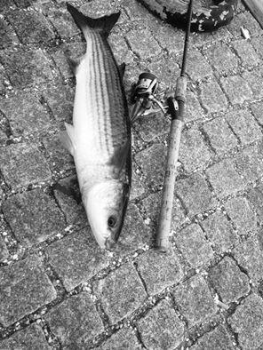 Multe på 68 cm og 3.20 kg fra københavn, Sjælland -  fanget på spilthagn, trekrog og brød # 4420