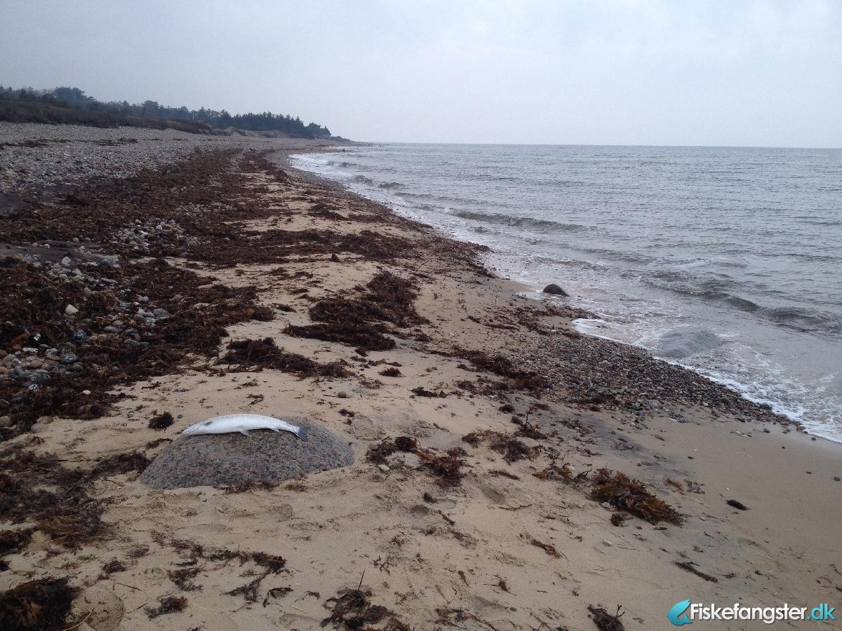 Havørred på 66 cm fra Nordkysten, Sjælland -  fanget på Blink # 2571