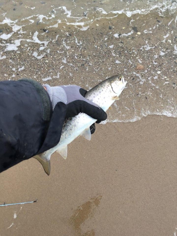Havørred på 42 cm og 0.75 kg fra limfjorden, Nordjylland -  fanget på kriller, sg lt sandeel, mo inline osv.. alt gav fisk # 7372