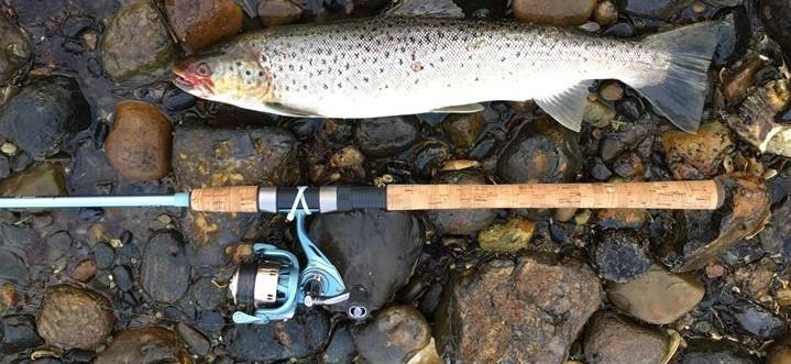 Havørred på 56 cm og 1.55 kg fra limfjorden, Nordjylland -  fanget på Kriller # 7356