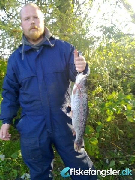 Regnbueørred på 50 cm og 1.55 kg fra medestedet, Nordjylland -  fanget på Vådflue # 286