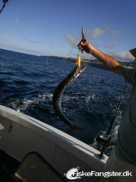 Anden art på 80 cm og 1.50 kg fra Azorerne, Portugal, Udlandet -  fanget på Wobler # 172