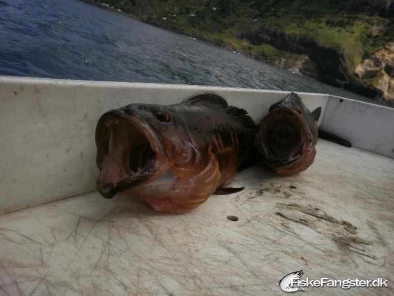 Anden art på 30 cm og 0.50 kg fra Azorerne, Portugal, Udlandet -  fanget på Wobler # 174